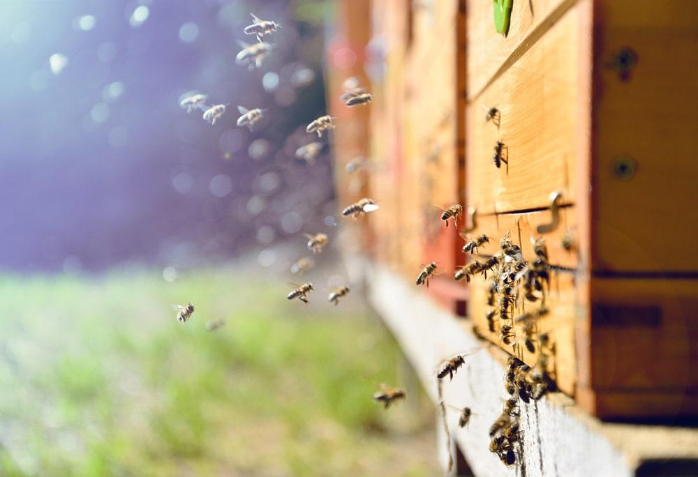 Meliponicultura: O Que É e 3 Técnicas de Criação de Abelhas